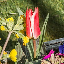 tulips (10 of 27).jpg