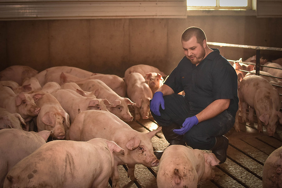 Sunterra Farms team member playing with pigs in barn