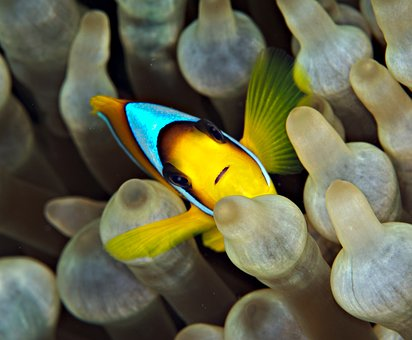 clown-fish-2983759__340