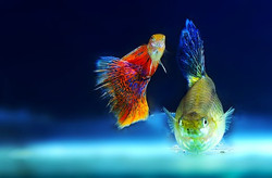 ornamental-fish-2317087__340