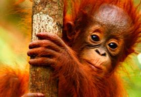 orangutan_450.jpg