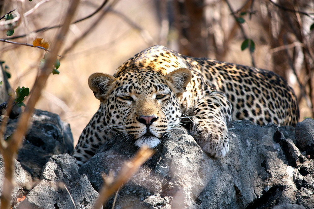 Lepard in the shade