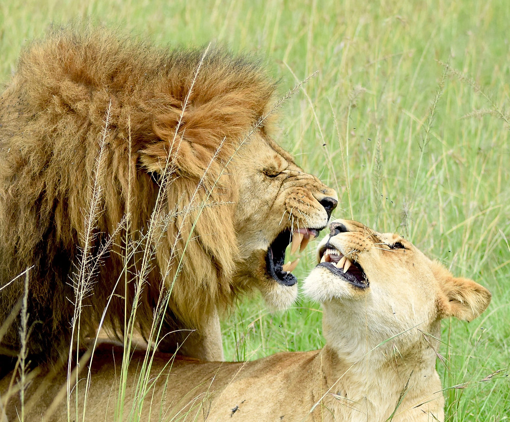 Volontär, volontärresa, lejon, Afrika