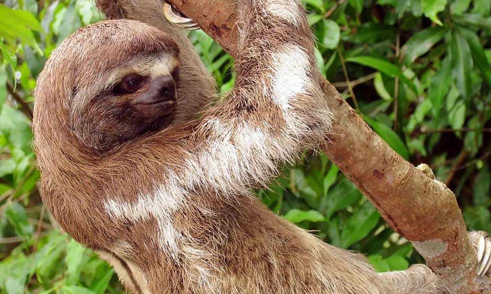 amazon-zafiro-sloth.jpg