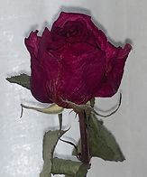 dried red rose up.jpeg