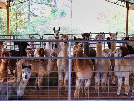 About Alpacas