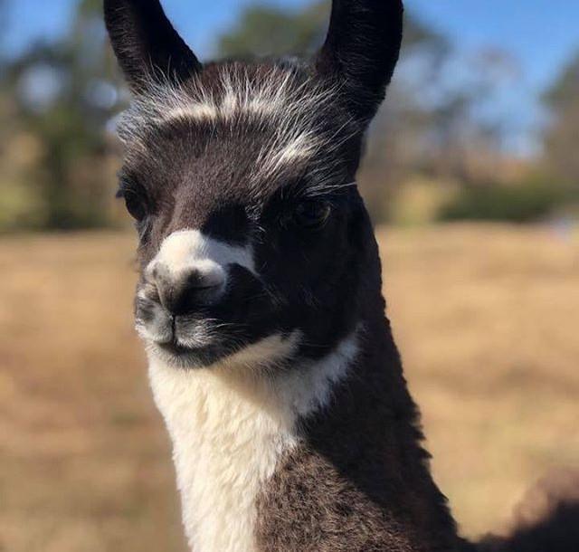 Our newest llama born at TMMA Farms, mee