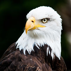 Portrait of a bald eagle (lat. haliaeetu