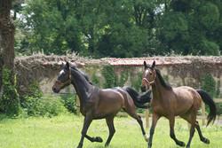 Les chevaux profitant des paddocks en herbe