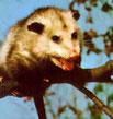 My Possum Story
