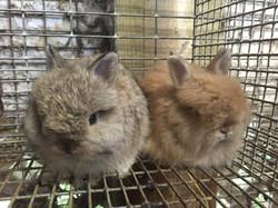 Rabbit Color Genetics