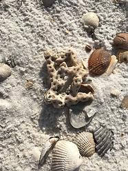 Perdido Key Shells