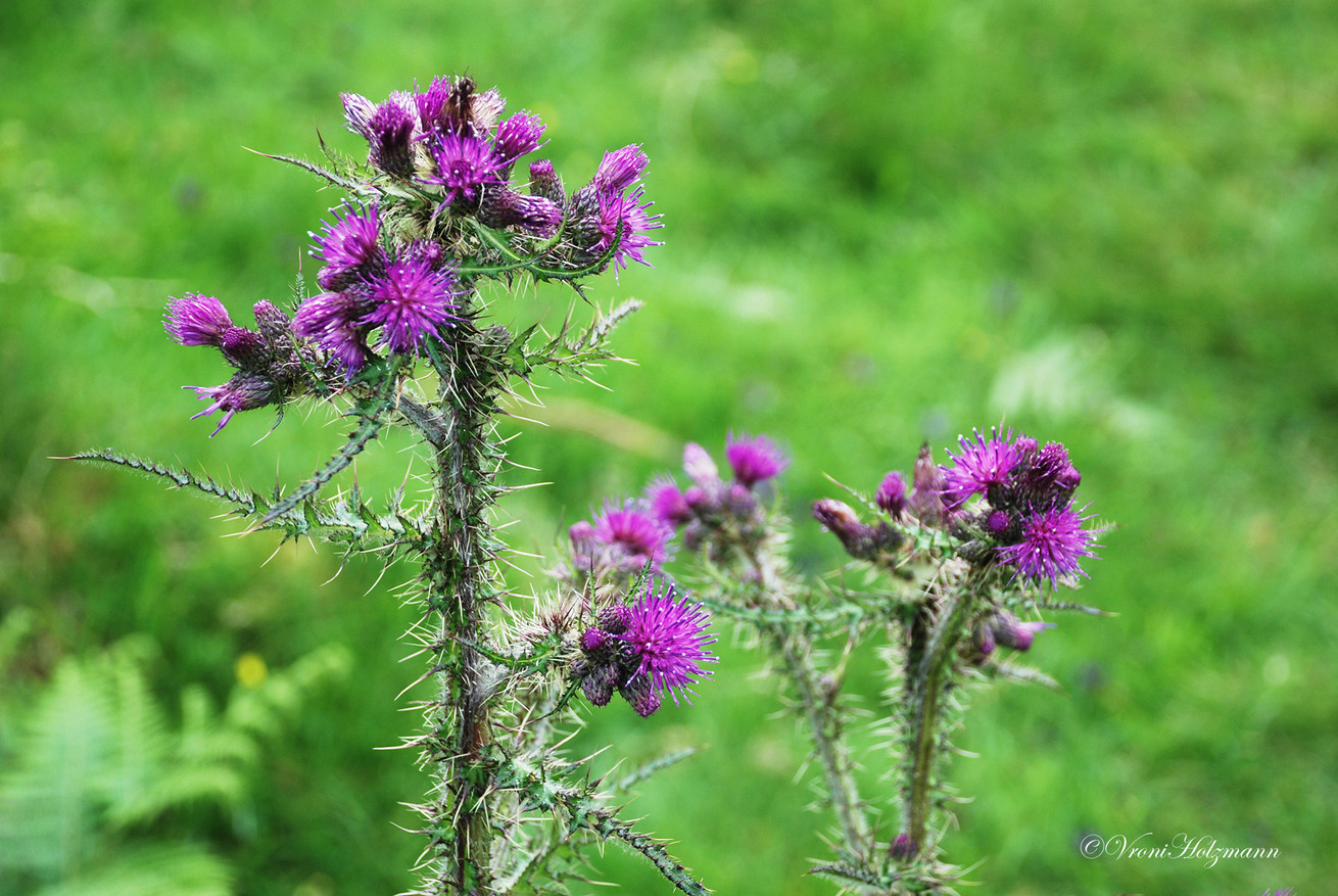 Thorny Thistles on the Isle of Skye
