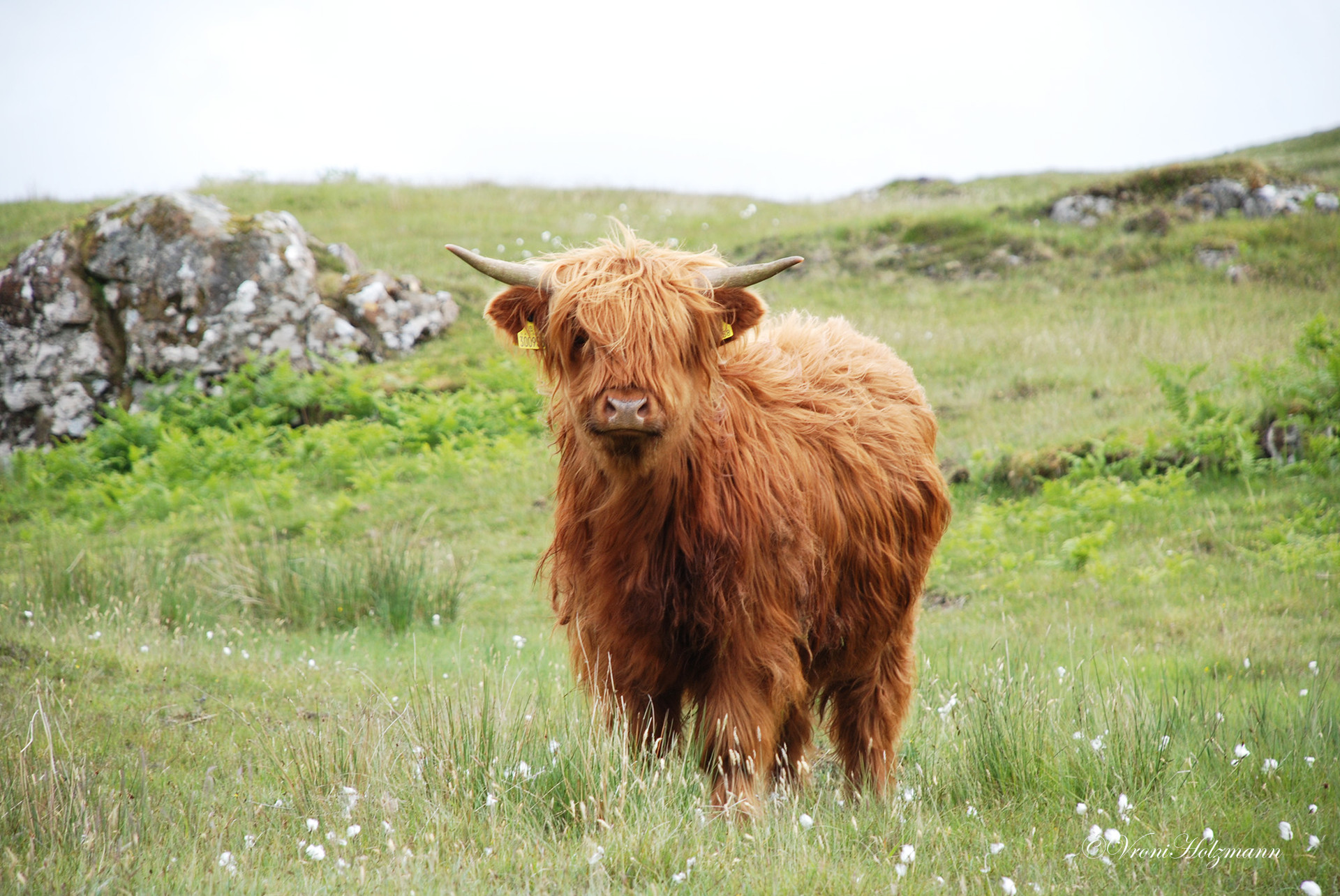 Highland Youngster
