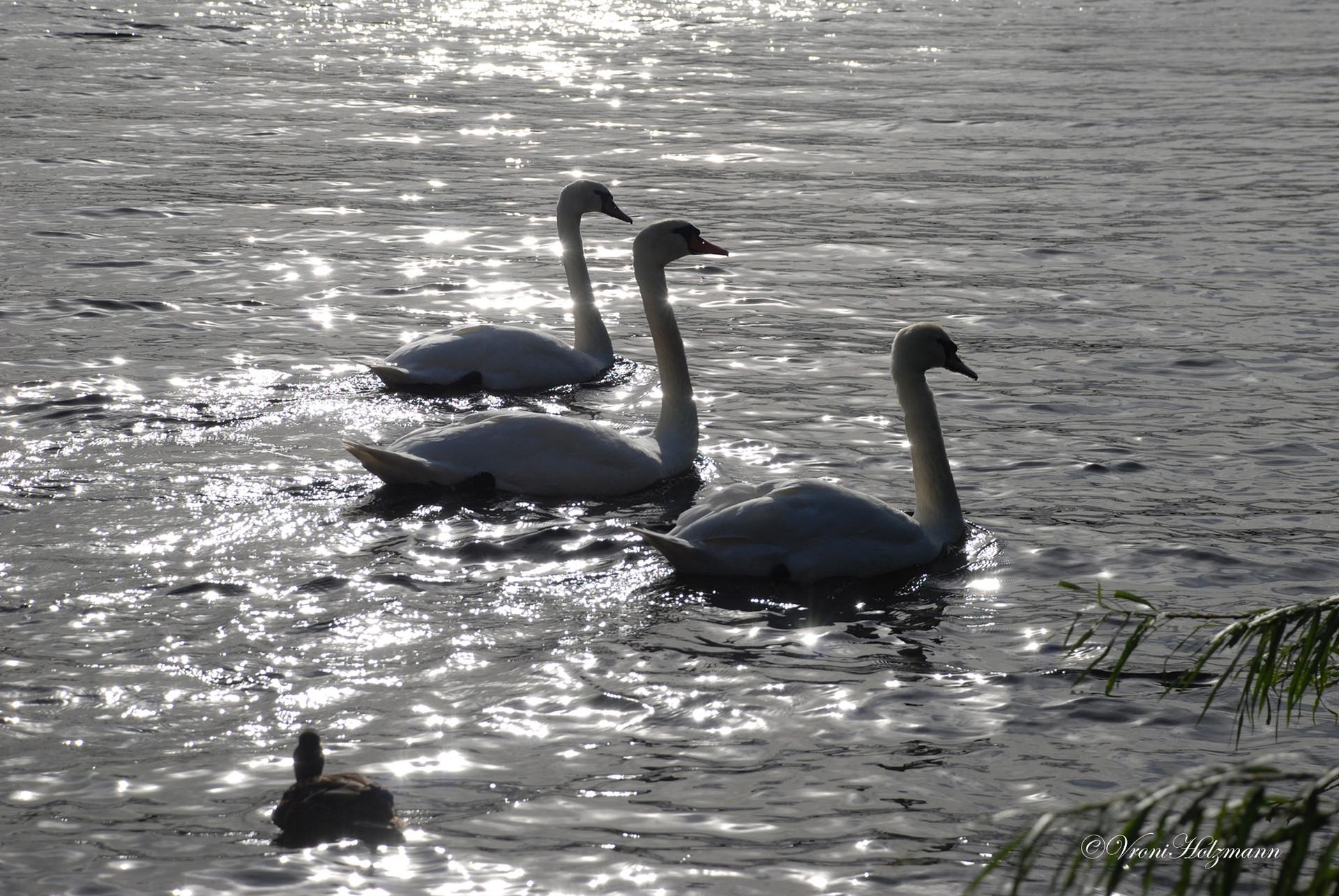 Swans at Duddingston Loch