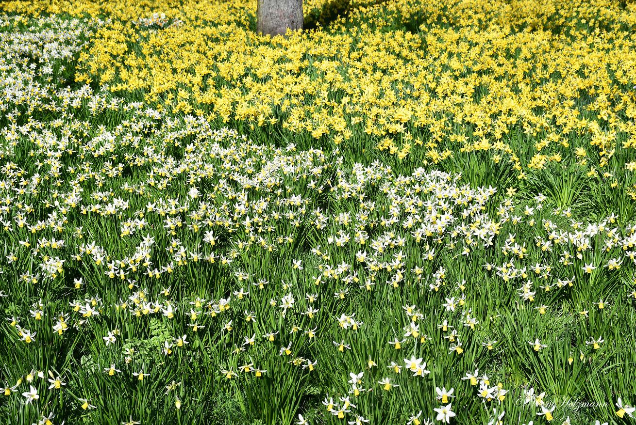 A sea of Daffodils