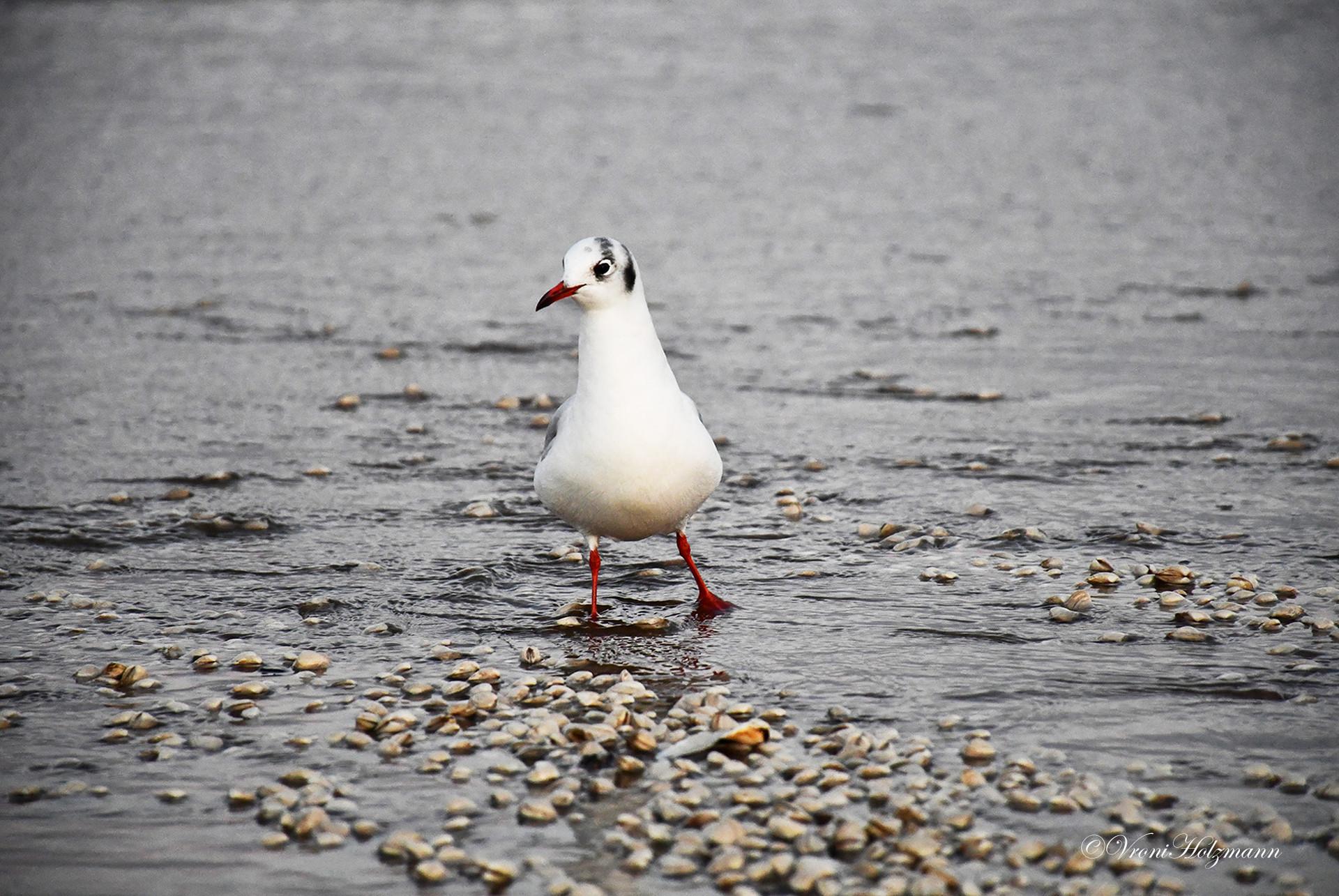 Seagull in Portobello