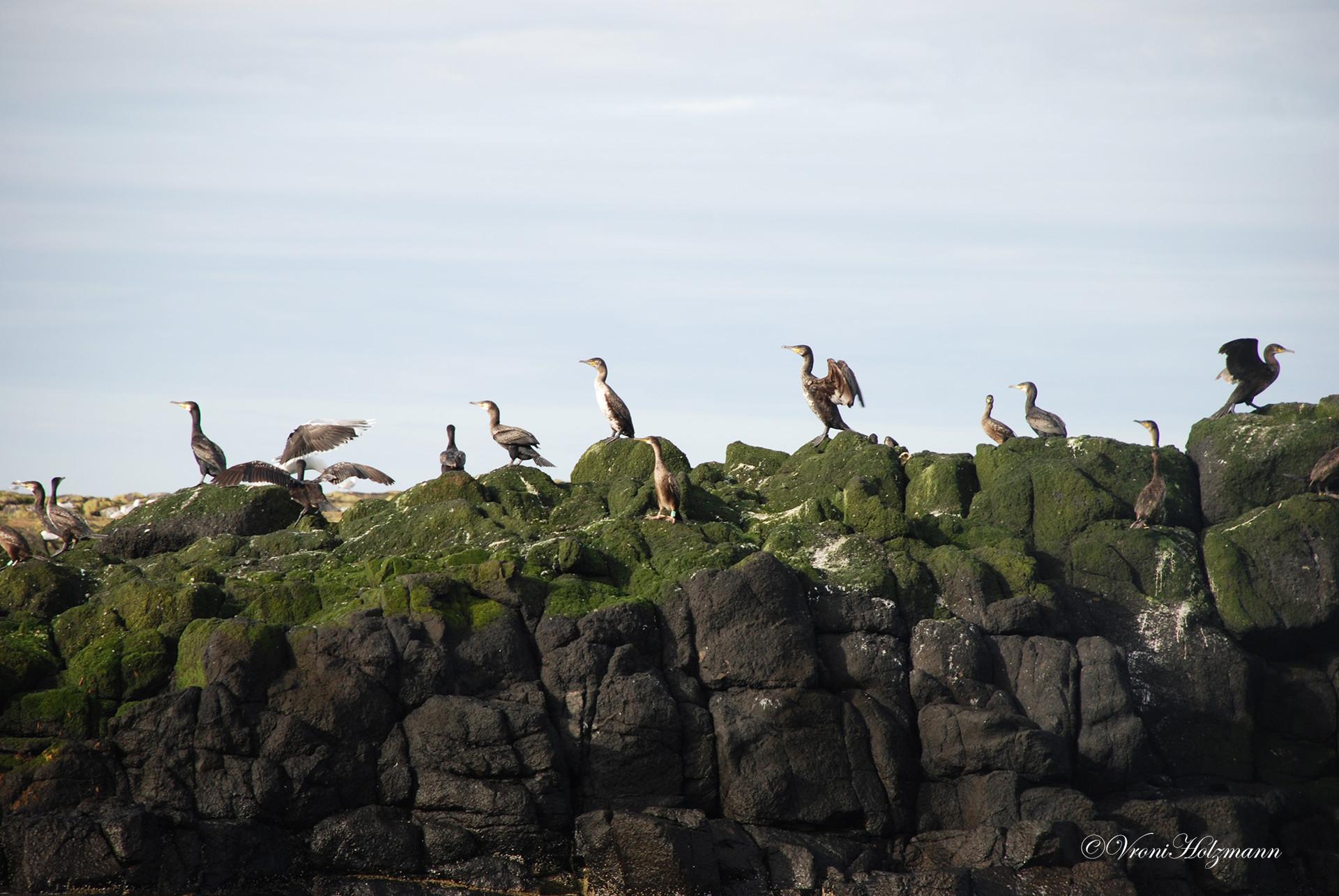 Cormorants on the Isle of May