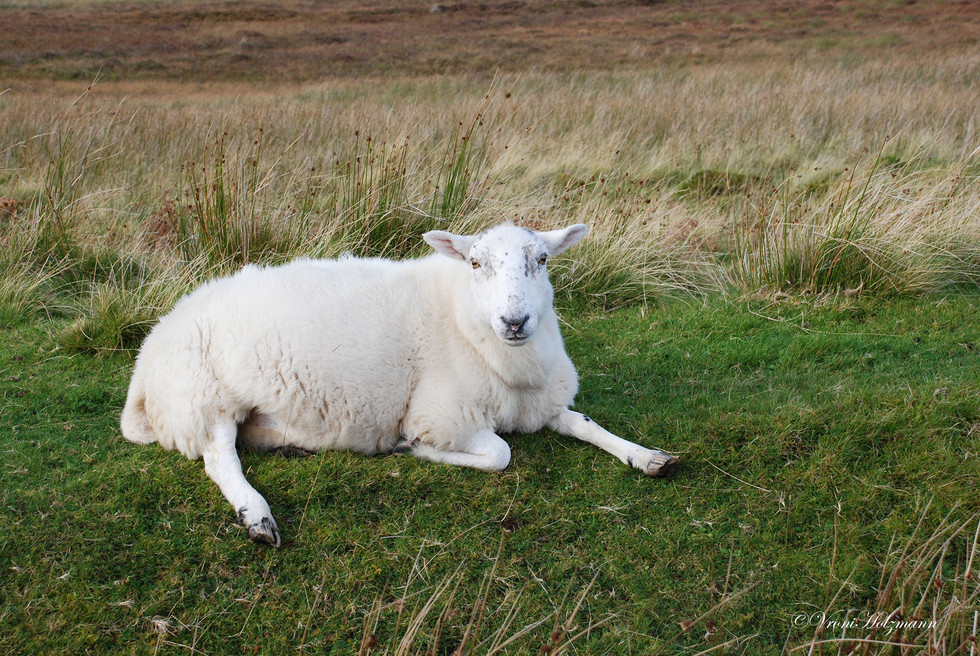 Relaxed sheep