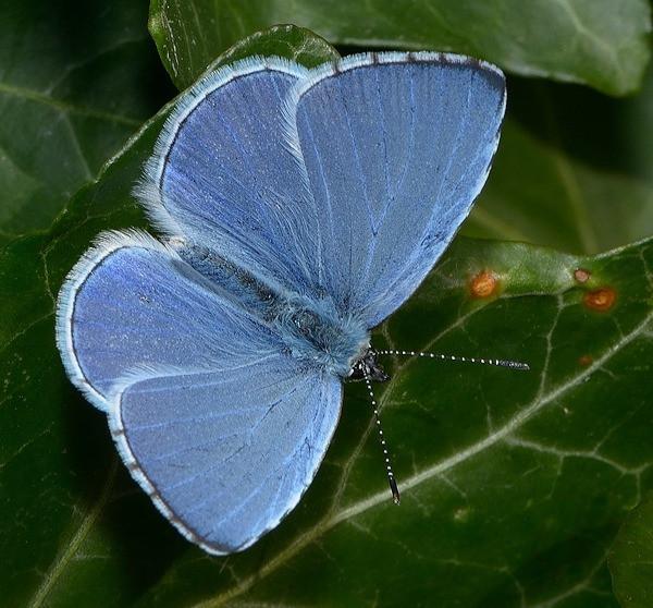 Wil jij ook een vlindervriendelijke tuin en genieten van al dat vrolijke gefladder, maar weet je niet welke planten daar het beste geschikt voor zijn? Lees hier welke vlinder bij welke plant hoort. Het Boomblauwtje legt zijn eitjes graag in de klimop of op Hulst. In Nederland zien we heel veel hagen van klimop. Ook Hulst doet het goed als haagje of op stam. Beide planten zijn zeer bruikbaar en altijd groen in de winter. En daarnaast, wat een mooie kleuren combinatie van donkergroen blad met een mooi lichtblauw vlindertje erop. Ik zeg, genieten!