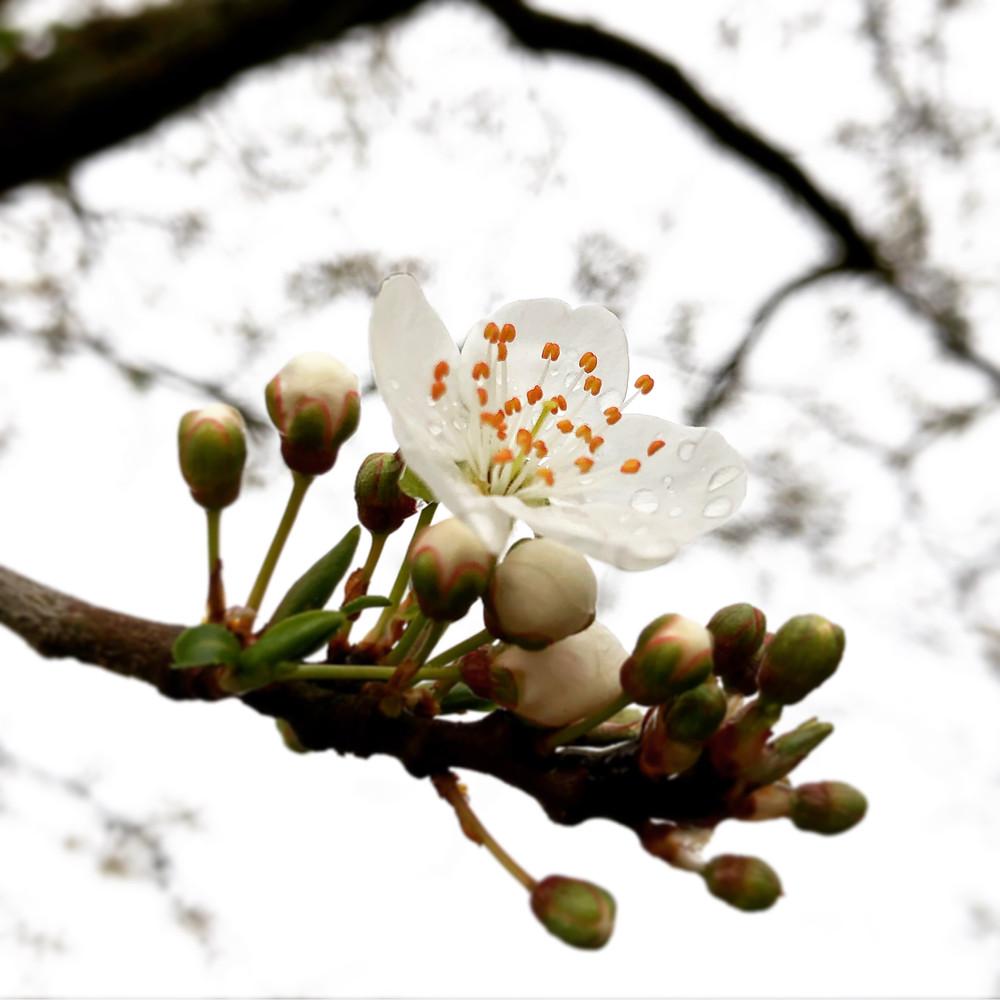 Prunus spinnosa in de tuin van de tuinarchitect rotterdam, studio linda lavoir, die ook wel in zeeland als tuinarchitect werkt