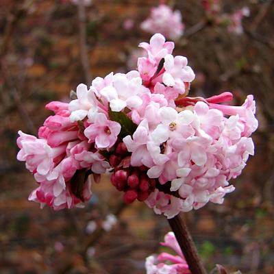 Viburnum 'Dawn'. Dit is een winterbloeiende struik die ik heb toegepast bij het ontwerp voor het groene schoolplein in Terneuzen, De Stelle. Deze plant heeft naast prachtige roze bloemen ook een heerlijke geur in de winter. Een mooie beleving voor de kinderen!