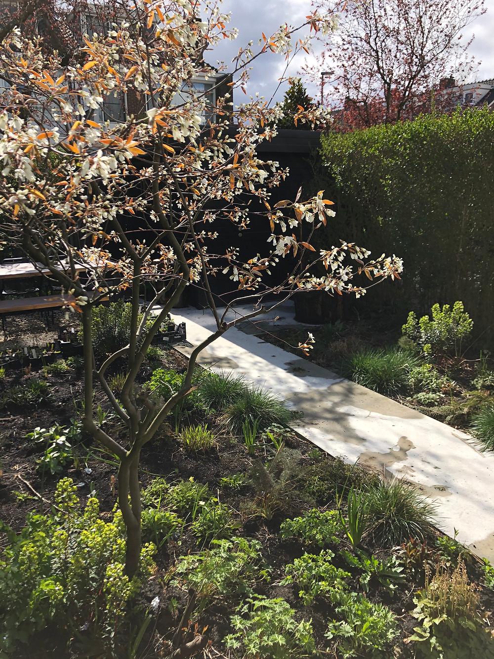Lente in de tuin! Bloeiende Amelachier lamarckii en Euphorbia x martinii