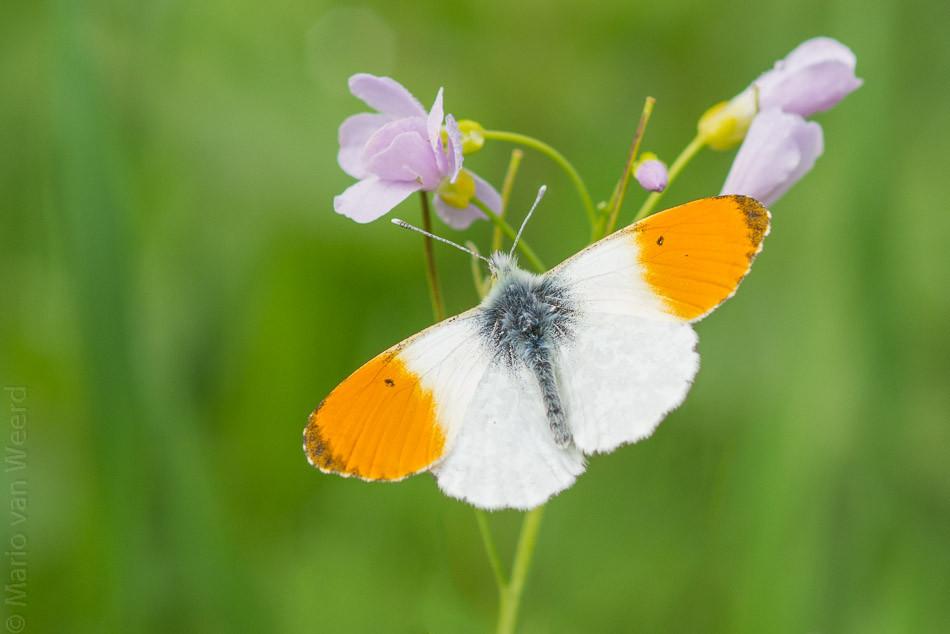 Wil jij ook een vlindervriendelijke tuin en genieten van al dat vrolijke gefladder, maar weet je niet welke planten daar het beste geschikt voor zijn? Lees hier welke vlinder bij welke plant hoort. Het Oranje tipje legt haar eitjes vooral op de Pinksterbloem of op de Judaspenning. De Pinksterbloem is te vinden in het nattere gedeelte van de berm, prachtig! De Judaspenning, of op zn latijns, Lunaria, is een zeer waardevolle tuinplant die goed op een (half)schaduwrijke plek in de tuin groeit. Mocht je dus niet weten wat je met die schaduw plek met doen, Lunaria rediviva planten is dus het antwoord!