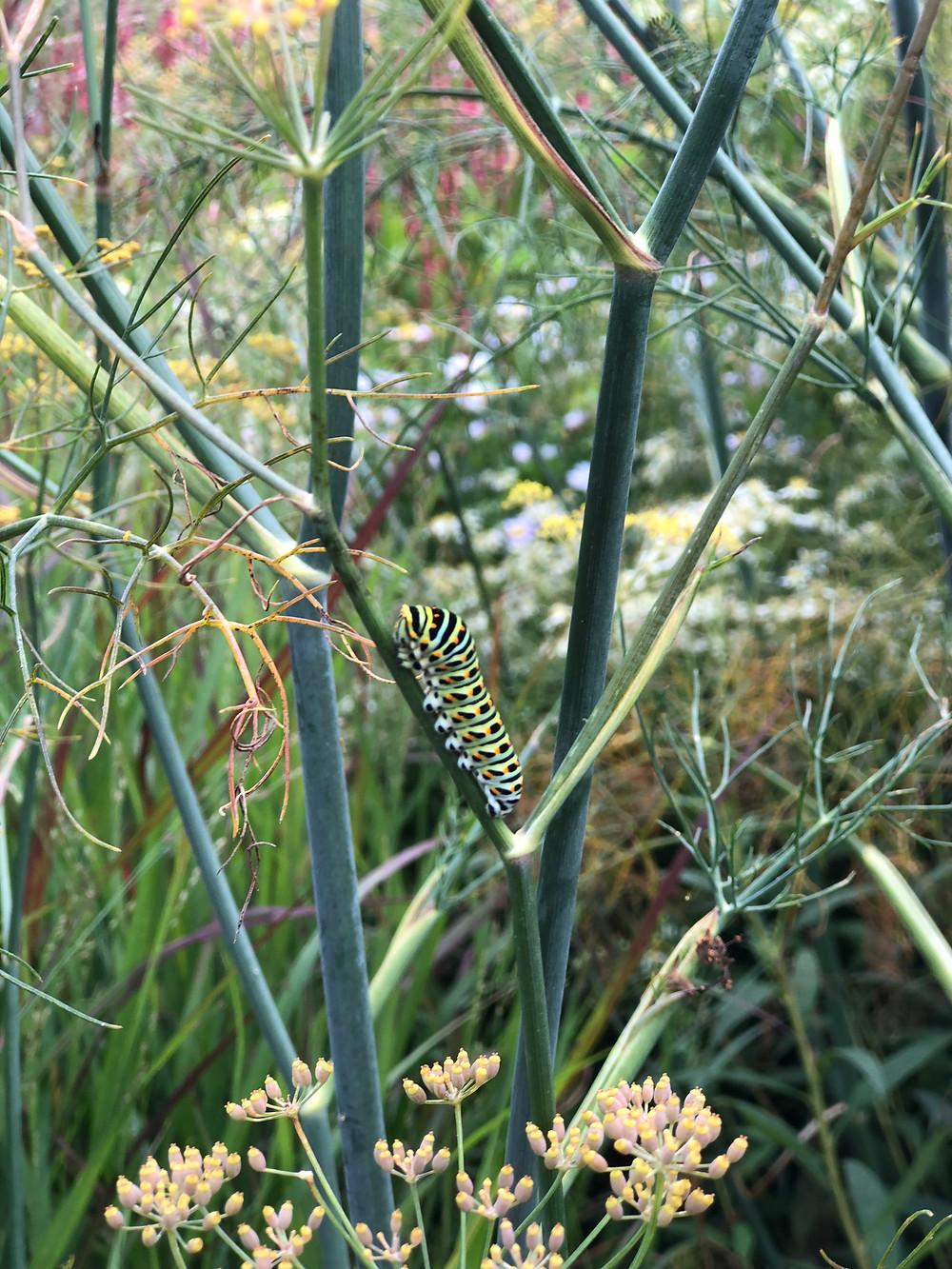 Wil jij ook een vlindervriendelijke tuin en genieten van al dat vrolijke gefladder, maar weet je niet welke planten daar het beste geschikt voor zijn? Lees hier welke vlinder bij welke plant hoort. En tot slot, de geen die we het liefste al-le-maal in onze tuin willen zien: De koninginnenpage. De exotische ster onder de vlinders hier in Nederland. Zet venkel, dille of wortel in je tuin en jawel, daar komen ze al. Een mooie gecultiveerde versie van de venkel is Foeniculum 'Giant Bronze'. Daar wordt je tuin mooi van, komt de koninginnenpage op af én je kan je salade extra lekker maken met de bloemetjes van deze plant. Je vraagt je bijna af waarom je hem niet in je tuin zou zetten. ( owja hij kan nogal woekeren, maarja waar je de plant niet wilt hebben kan je hem ook makkelijk weghalen )