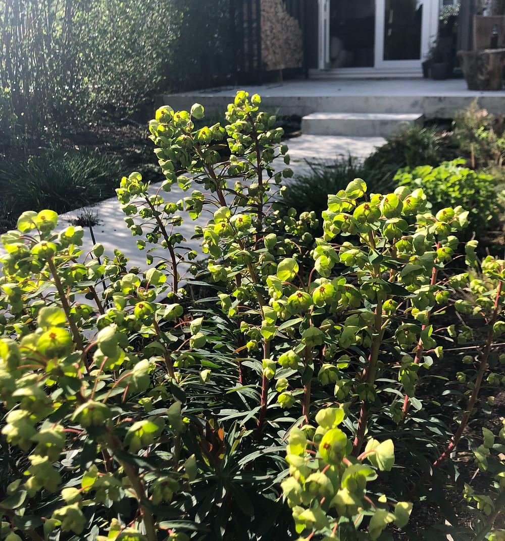 Lente in de tuin! Bloeiende AmeLente in de tuin! Bloeiende Amelachier lamarckii en Euphorbia x martiniilachier lamarckii en Euphorbia x martinii