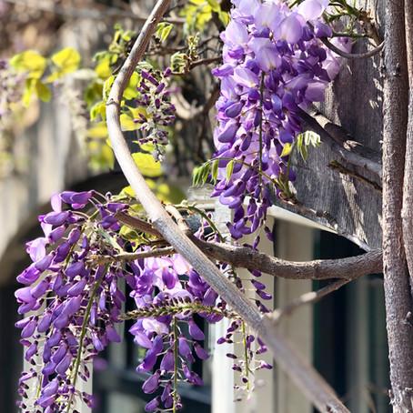 Mijn 5 favorieten bloeiende klimplanten