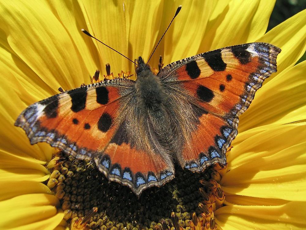 Wil jij ook een vlindervriendelijke tuin en genieten van al dat vrolijke gefladder, maar weet je niet welke planten daar het beste geschikt voor zijn? Lees hier welke vlinder bij welke plant hoort. Het kleine vosje, dagpauwoog, atalanta en landkaartje leggen allemaal hun eitjes op de brandnetel. Een zeer belangrijke plant dus! Maar eentje die we liever niet zien en ook de gemeentes maaien ze massaal weg. Brandnetels in de tuin willen we natuurlijk al helemaal niet, maar zijn er nou plekken waar je toch niet komt, laat ze dan toch staan. In mijn kleine tuintje in Rotterdam heb ik er een paar in een pot gezet, zodat de brandnetels niet de hele tuin overwoekeren, maar ik toch een leefgebied kan creëren voor de vlinders. Vind je het toch helemaal niks die brandnetels in de tuin, geef het gemeentemannetje die berm vol leven aan het maaien is maar een flinke preek en adviseer hem maar om lekker naar huis te gaan. Je hebt mijn toestemming haha.
