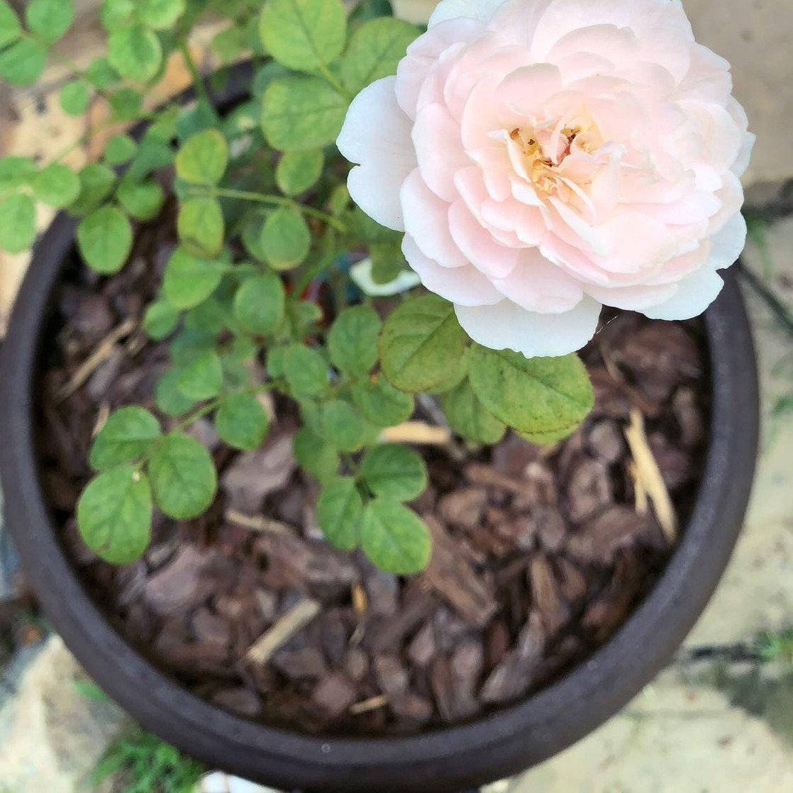 Potted Flower Rental