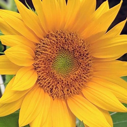 #sunflowers.jpg