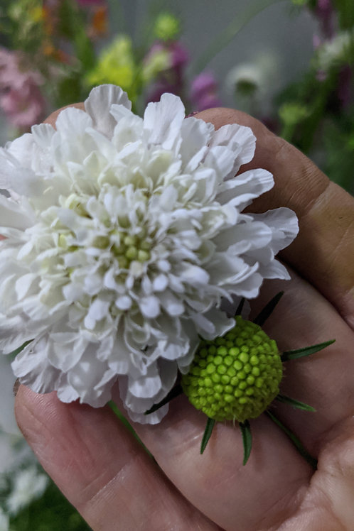Scabiosa (Pincushion)