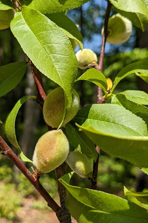 Fruiting Almond Branches