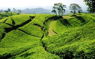 Bandung - Tea plantation.jpg