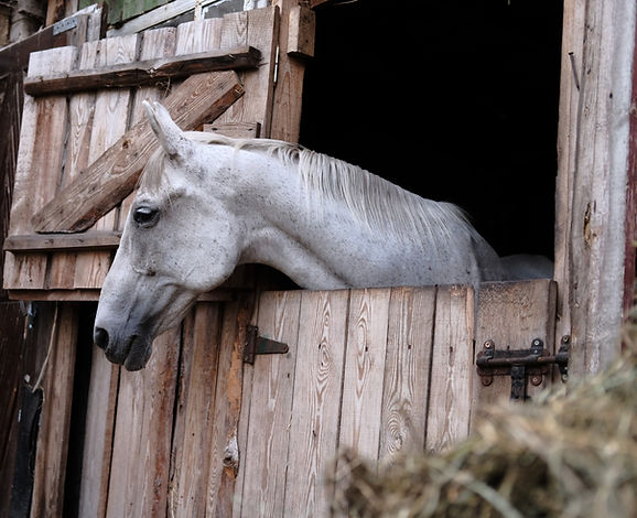A%20gray%20horse%20in%20a%20stall_edited