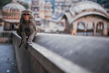 Indie, Jaipur, monkey temple