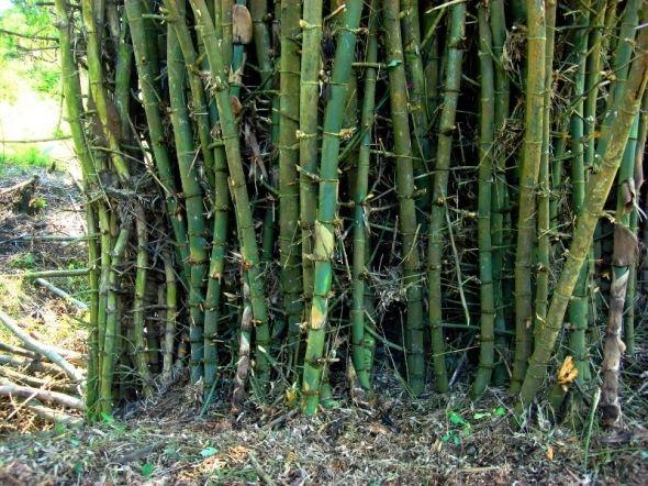 Thorny Bamboo