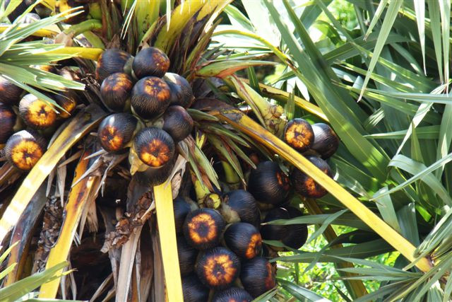 Toddy Palm