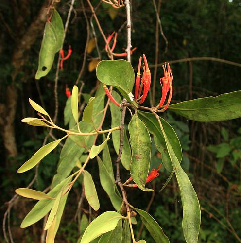 Curved Mistletoe