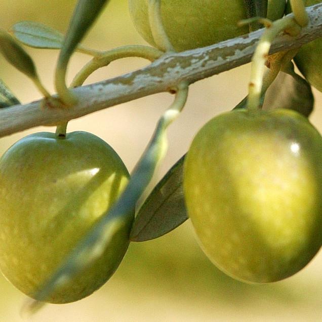 Faire mûrir les olives
