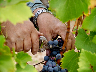 Pruning the grapes