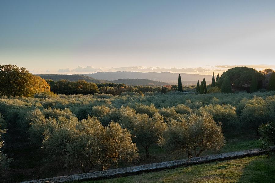 olive groves.jpg