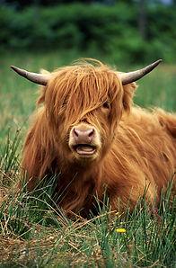 Highland Cattle_edited.jpg
