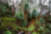 TasmanianNativeFlora.jpg