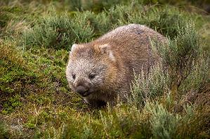 WombatSmaller.jpg