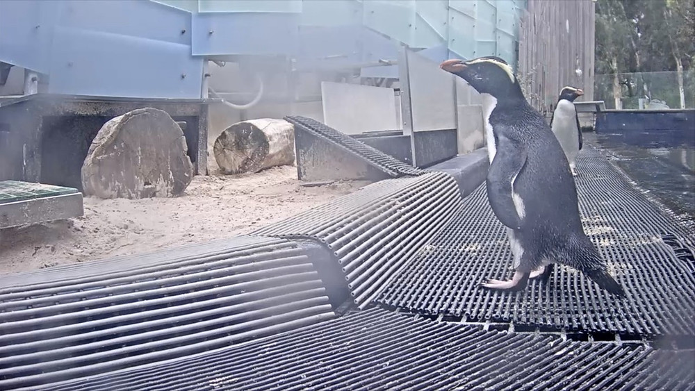 Melbourne Zoo Live Streaming Penguins