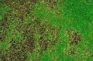 Texas Lawn Disease